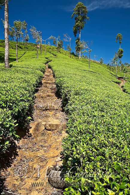 Path used by tea pickers wends its way upwards through the tea plantation.<br /> (Photo by Matt Considine - Images of Asia Collection)