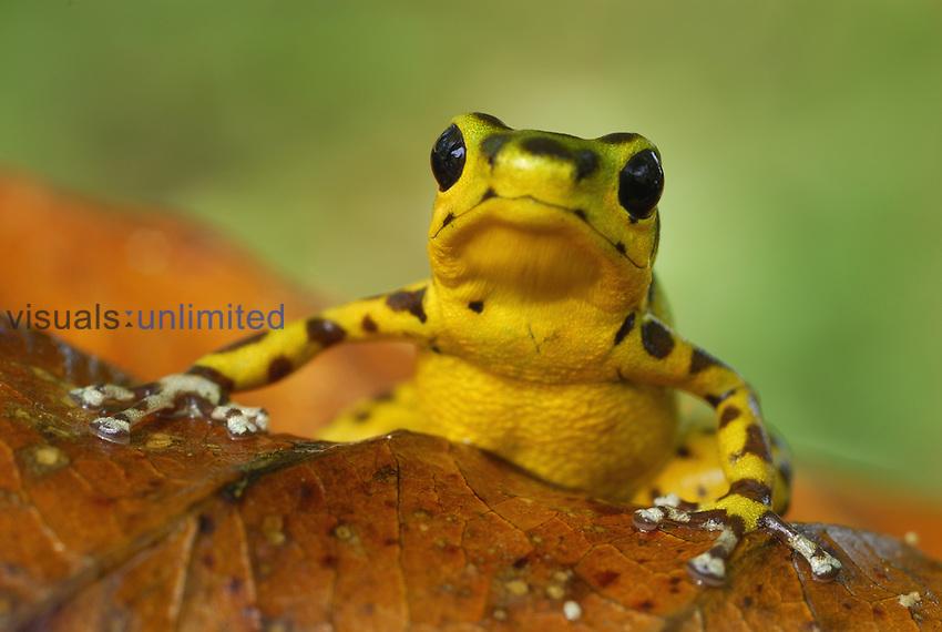 Strawberry Poison Dart Frog (Dendrobates pumilio), Bastimentos National Park, Bocas del Toro, Panama.