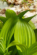 Indian Poke - Veratrum veride - on the side of Lowes Path in the New Hampshire White Mountains during the spring months.