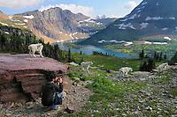 Mountain Goat (Oreamnos americanus) and photographer on Hidden Lake Trail..  Glacier National Park, Montana.  Summer.