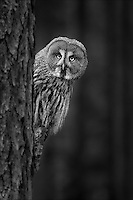 A great grey owl in a forest