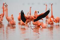 American Flamingo (Phoenicopterus ruber) landing. Celestun Biosphere Reserve, Mexico. February.