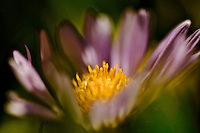 Wild flower from Santa Monica Mountains, CA, USA.