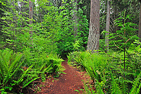 Fern bordered trail in Bellevue, Washington's forested Weowna Park.