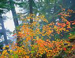 Mt. Rainier National Park, WA     <br /> Fall colors on a Vine Maple (Acer cirinatum) at hillside edge of a spruce/hemlock forest