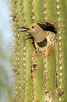 Gilded Flicker - Colaptes chrysoides - female