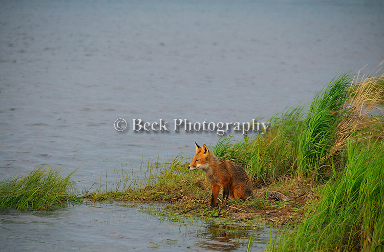 A red fox sits at the edge of the water looking for food in Alaska.