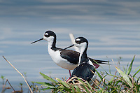 Black-necked Stilts (Himantopus mexicanus), Blue Cypress Lake, Vero Beach, Florida, US
