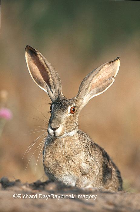 02203-003.11 Black-tailed Jack Rabbit (Lepus californicus)  Starr Co. TX