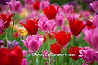 63821-22812 Red and pink tulips, Cantigny Park, Wheaton, IL
