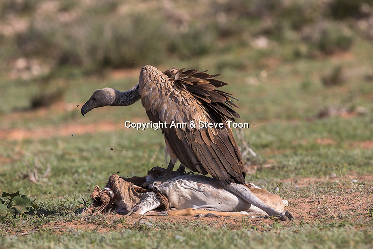 Whitebacked vulture (Gyps africanus) on carcass, Kgalagadi transfrontier park, South Africa, January 2017