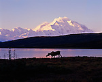 A moose, silhouetted against Mt. McKinley, walks down to the edge of Wonder Lake to feed in Denali National Park, Alaska.