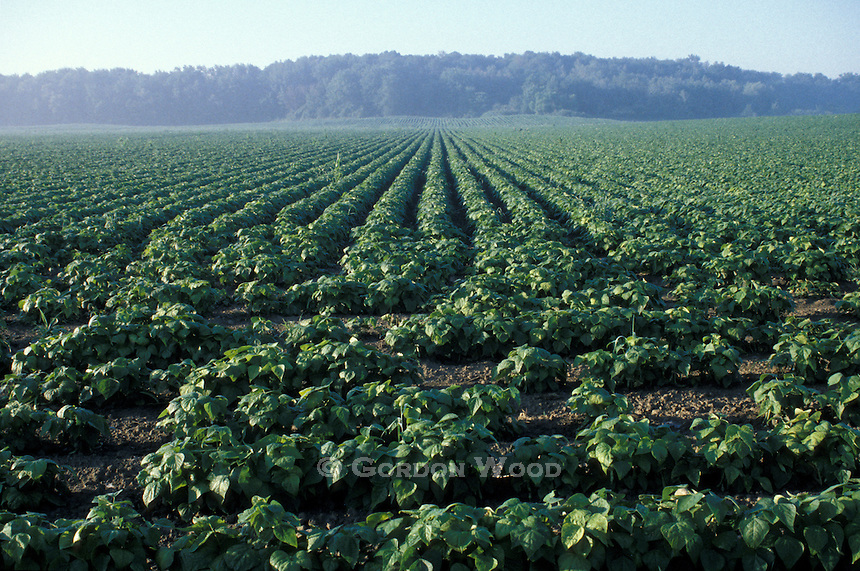 Soybean Crop in Southwestern Ontario Field