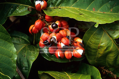 Amazon forest, Brazil. Paullinia cupana (Guarana), a red husk with a black and white berry high in vitamin C; used as a tonic and to flavour soft drinks and energy drinks.