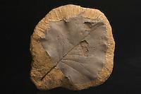 Fossil leaf. Protophyllum credneroides (Lesquereux). Cretaceous Period. Dakota Group.  Ellsworth County, Kansas, USA.