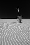 Lone yucca with sand ripples