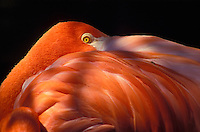 A close up photo of a beautiful pink Flamingo found on display at the Honolulu Zoo.