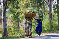 Indian women carrying fodder for animal feed from fields in Agra, Uttar Pradesh, India
