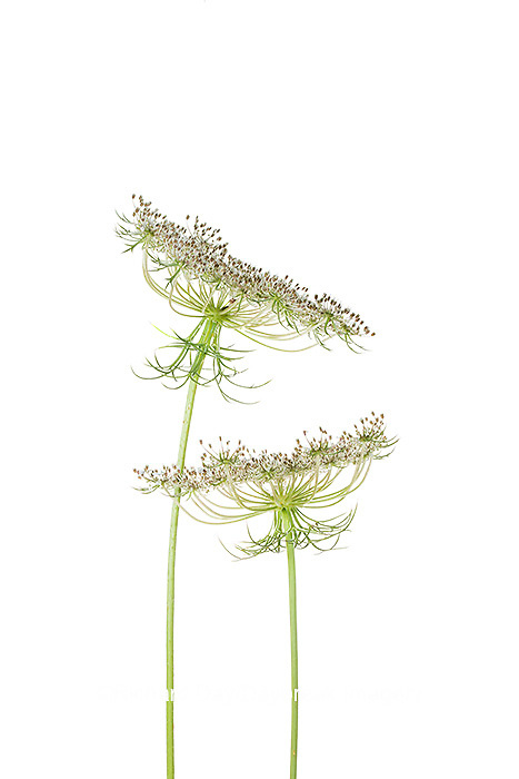 30099-00703 Queen Anne's Lace (Daucus carota) (high key white background) Marion Co. IL