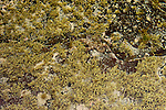 Gloomy Octopus (Octopus tetricus) camouflaged in tidepool, Murramarang Beach, Murramarang National Park, New South Wales, Australia