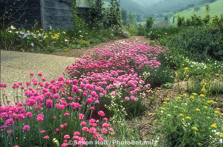 California native plant garden with Armeria maritima and Pacific Coast hybrid Irises groundcover lawn substitute.