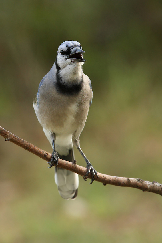 A vocal & loud bird, the Blue Jay sometimes talks back to me :)