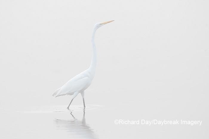 00688-02215 Great Egret (Ardea alba) in wetland in fog, Marion Co., IL