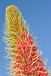 Tower of Jewels flowers (Echium wildpretii), endemic to Tenerife, Canary Islands