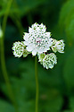 Astrantia major subsp. involucrata, end June.