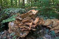 Riesenporling, Riesen-Porling, auf einem alten Baumstubben, Totholz, Meripilus giganteus, giant polypore, black-staining polypore, giant polypore mushroom