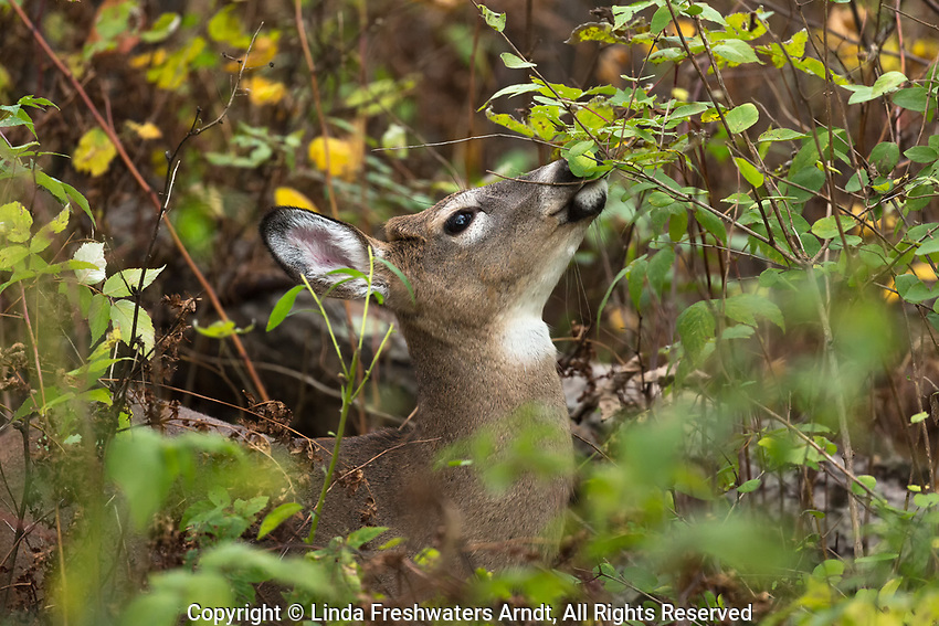 White-tailed fawn feeding in a northern Wisconsin woodland.