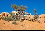 Bristlecone Pine, Fairyland Canyon, Bryce Canyon National Park, Utah