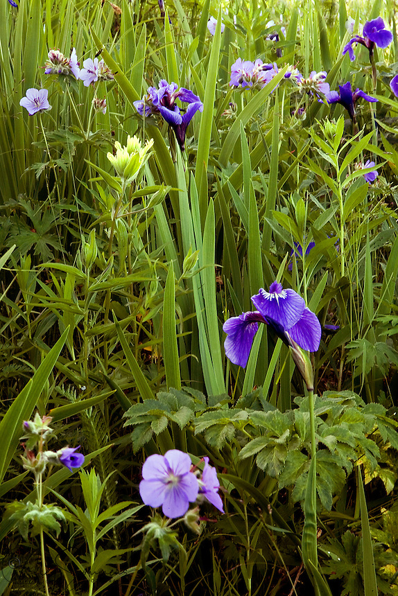 Wild iris and geraniums bloom in Kutat Bay, Katmai National Park, Alaska.