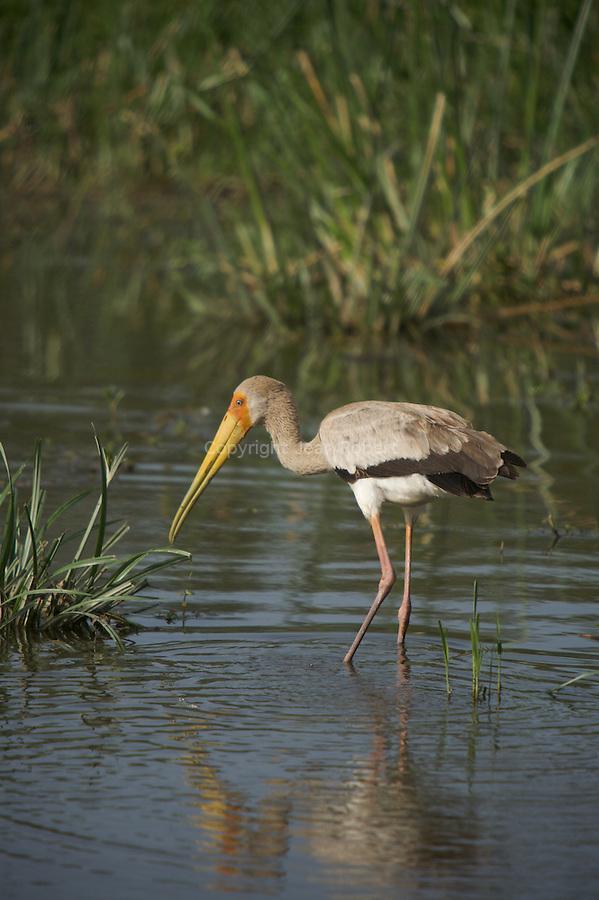 Yellow-billed Stork - Mycteria ibis.Tantale ibis. Lac Abaya près de la ville d'Arba Minch
