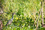 Columbia Ranch, Brazoria County, Damon, Texas; a Yellow-crowned night-heron (Nyctanassa violacea) bird fishing at the edge of the slough