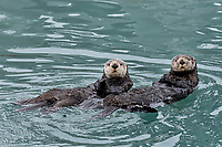 Two Sea Otters (Enhydra lutris) , Prince William Sound, Alaska.  Spring.