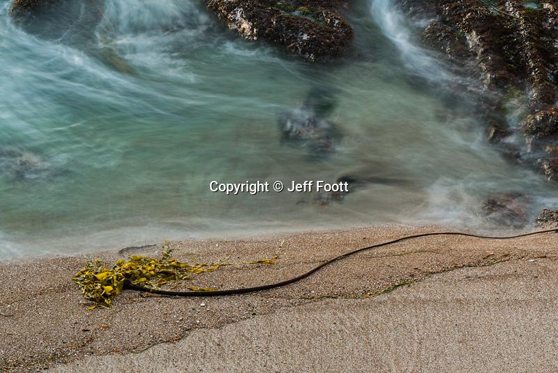 Bull Kelp (Nereocystis luetkeana)  on Beach, California Coast, Montane de Oro State Park.