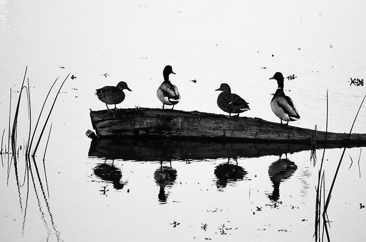 Ducks on a Log,  San Joaquin Wildlife Sanctuary, Irvine, CA                    35mm image on Ilford Delta film