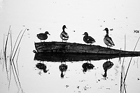Ducks on a Log,  San Joaquin Wildlife Sanctuary, Irvine, CA                    35mm image on Ilford Delta film