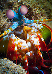 Close up head view of a Mantis Shrimp (Odontodactylus scyallarus), Volcano crater, Witu Islands