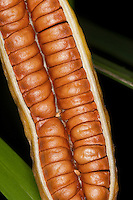 Sumpf-Schwertlilie, Sumpfschwertlilie, Sumpf - Schwertlilie, Gelbe Iris, Fruchtstand, Samen Geldrollen-artig gestapelt, Iris pseudacorus, Flag iris, Yellow Flag, Iris des marais