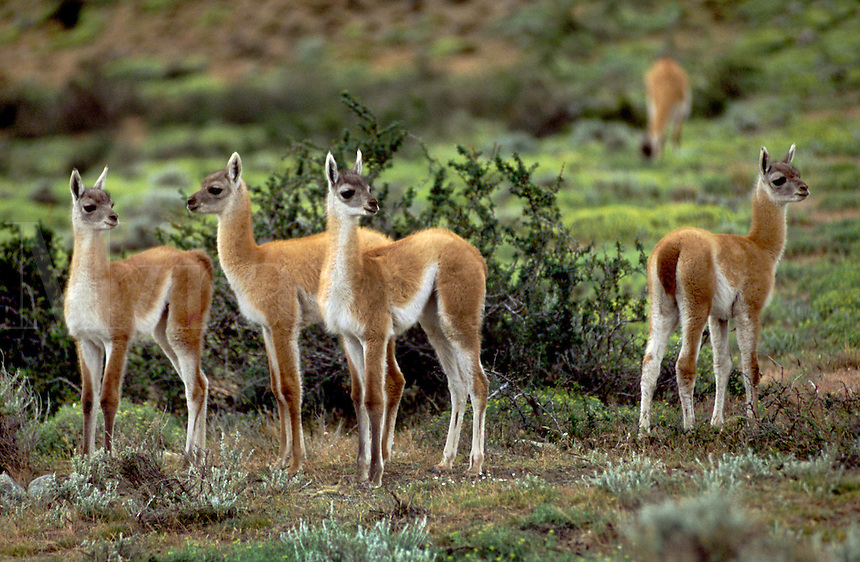 FOUR newborn GUANACOS (Lama guanicoe) babies in TORRES DEL PAINE NATIONAL PARK - PATAGONIA, CHILE