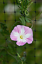 Field bindweed (Convolvulus arvensis), early August.