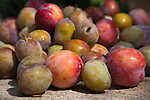 Plums from market garden, Babylonstoren estate, Western Cape, South Africa, February 2013