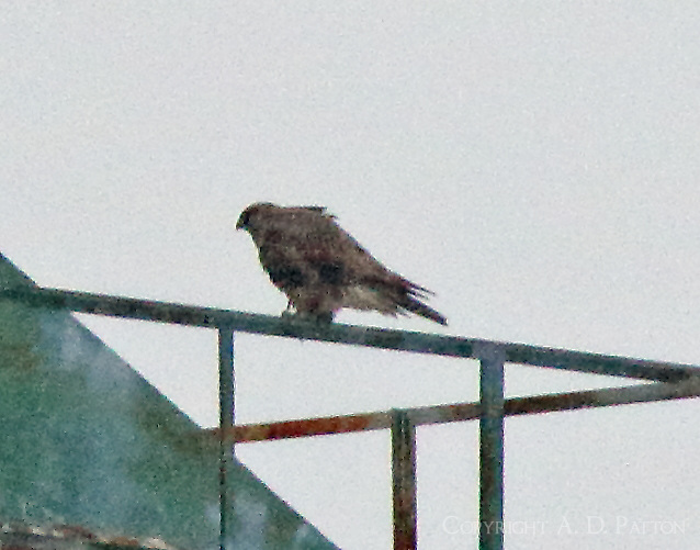 Gyrfalcon sitting on industrial structure at Duluth harbor