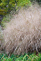 Panicum virgatum 'Heavy Metal' ornamental grass in autumn fall