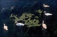 Tornavento di Lonate Pozzolo (Varese). Cigni nel Naviglio Grande --- Tornavento Lonate Pozzolo (Varese). Swans in the canal Naviglio Grande