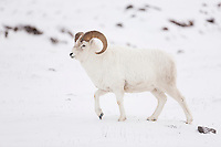 An adult dall sheep ram on the snow covered tundra of the Brooks Range mountains in Alaska's Arctic.