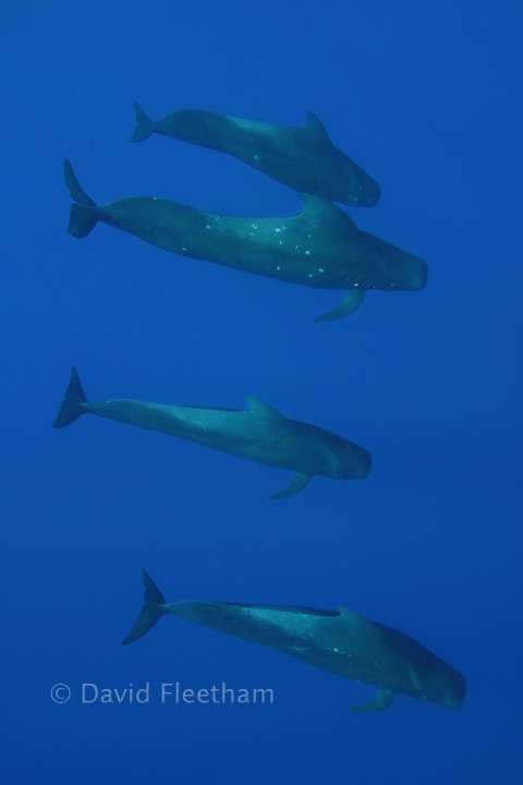 This family of short-finned pilot whales, Globicephala macrorhynchus, was encountered in open ocean, several miles off the Big Island of Hawaii.