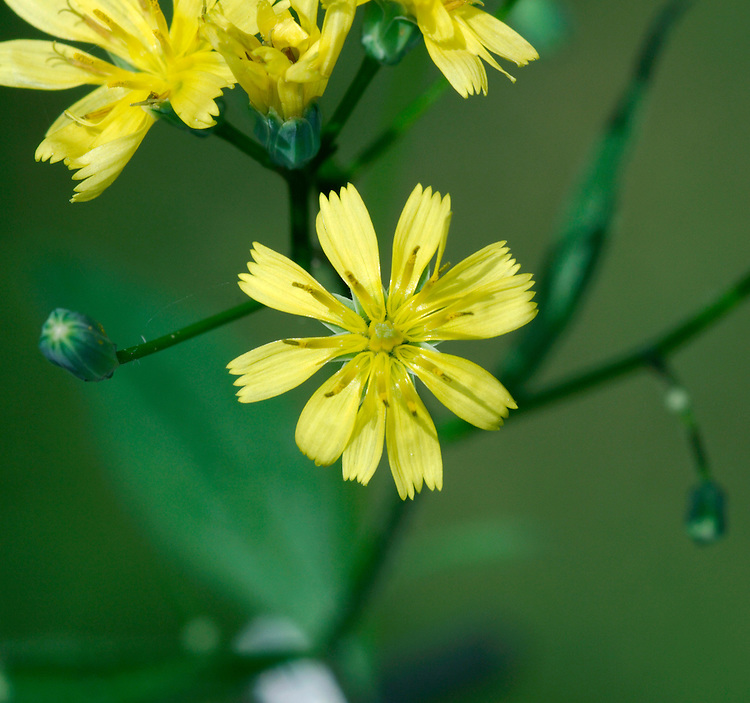 NIPPLEWORT Lapsana communis (Asteraceae) Height to 1m<br /> Upright, much-branched annual with stiff stems that do not produce latex when broken. Grows in cultivated and disturbed ground, and often in gardens. FLOWERS are borne in heads, 1-2cm across, with yellow florets; carried in open clusters (Jul-Oct). Flowers are nipple-like in bud. FRUITS are hairless. LEAVES are oval to lanceolate, toothed and short-stalked. STATUS-Widespread and common throughout the region.